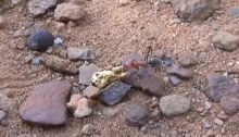 ant stealing gold nuggets gold prospecting